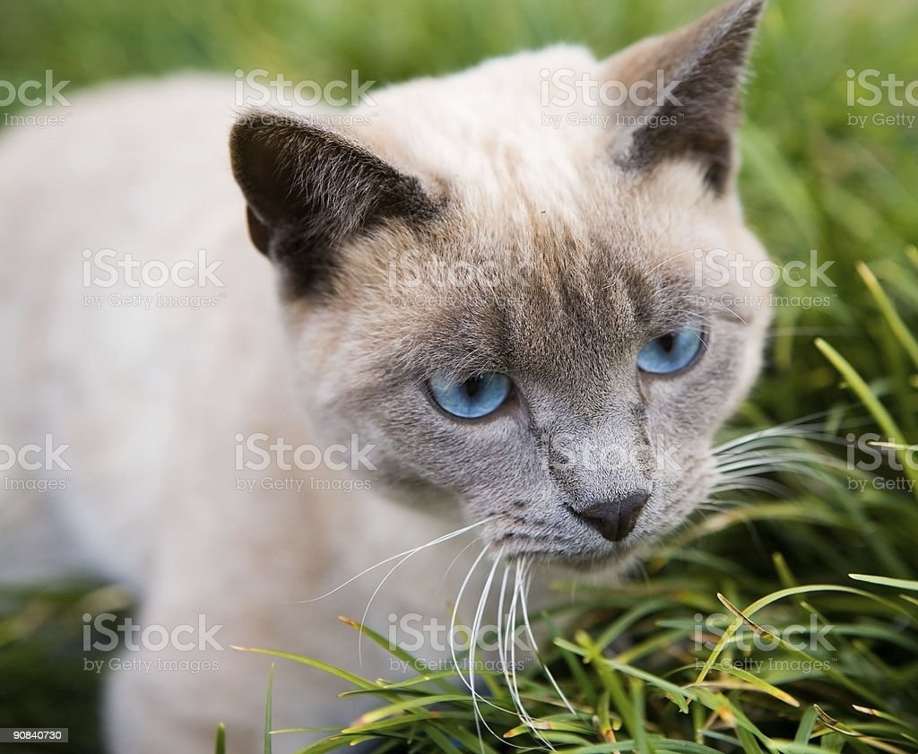 Blue eyed cat royalty-free stock photo