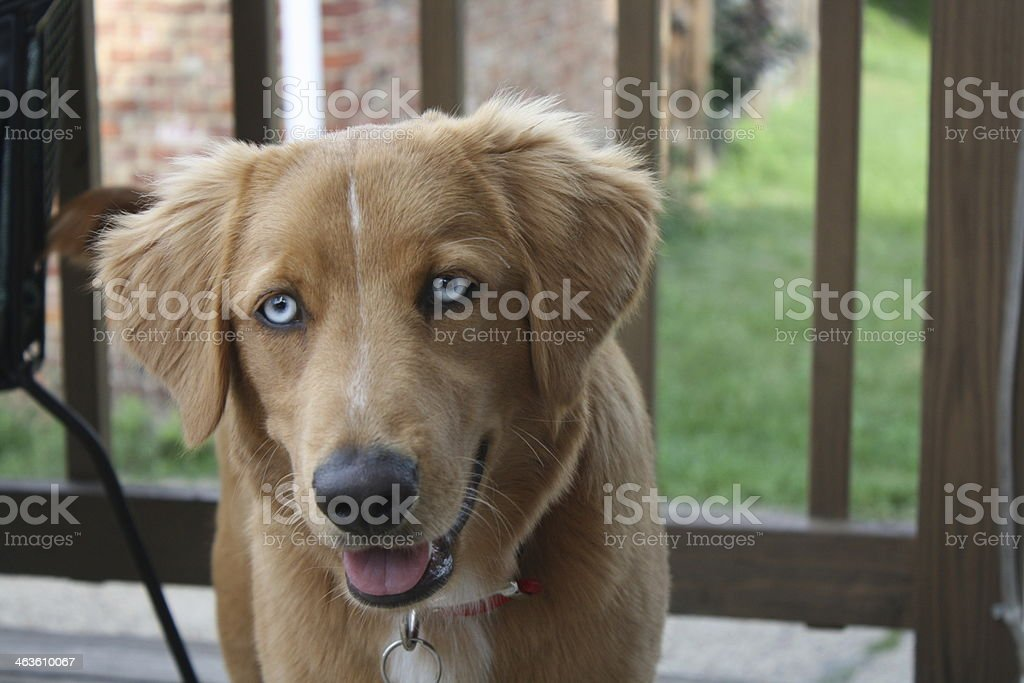 Blue Eyed Golden Retriever Stock Photo More Pictures Of Animal