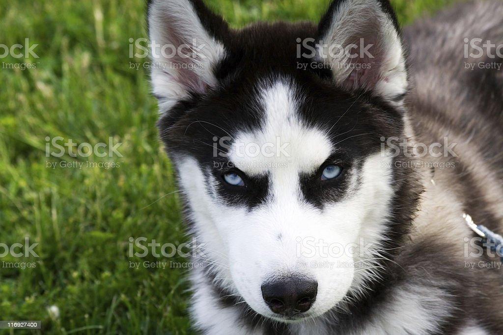 Blue eyed husky puppy royalty-free stock photo