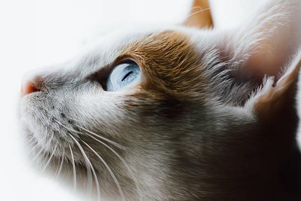 Blue Eyed Japanese Bobtail Cat stock photo