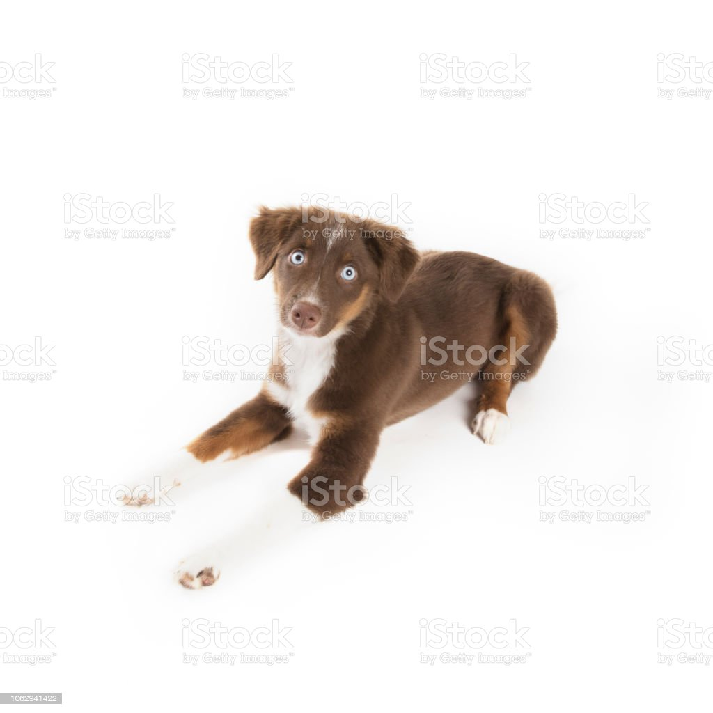 Blue Eyed Mini Aussie Puppy Stock Photo Download Image Now Istock