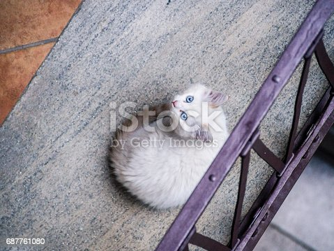 Adrorable beige blue eyed puppy cat
