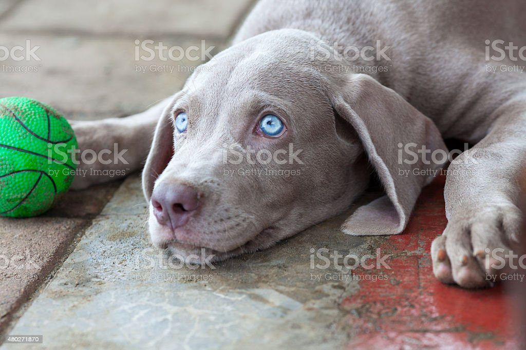 Blue Eyed Puppy Stock Photo Download Image Now Istock