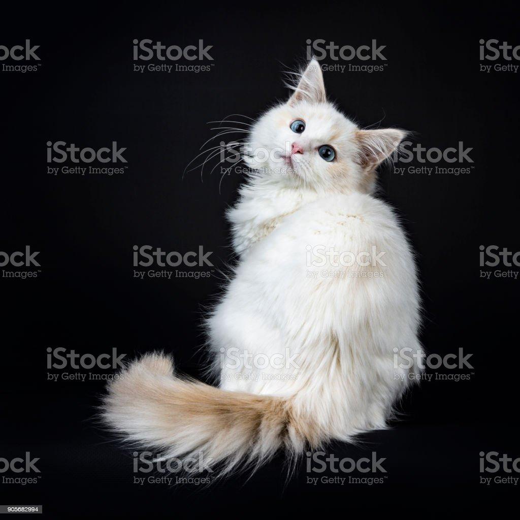 Blue eyed ragdoll kat / kitten achteruit geïsoleerd op zwarte achtergrond, kijken naar de lens zit foto