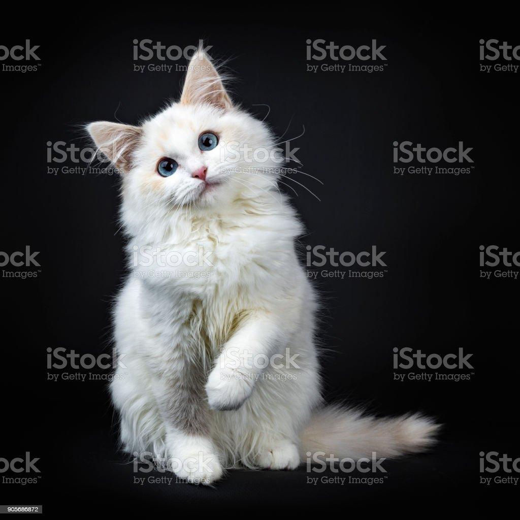 Blue eyed ragdoll kat / kitten zitten geïsoleerd op zwarte achtergrond op zoek naar de lens met schuin hoofd en opgeheven poot foto