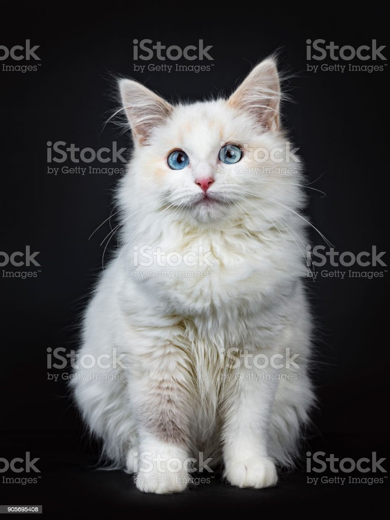 blue eyed ragdoll cat kitten sitting isolated on black background
