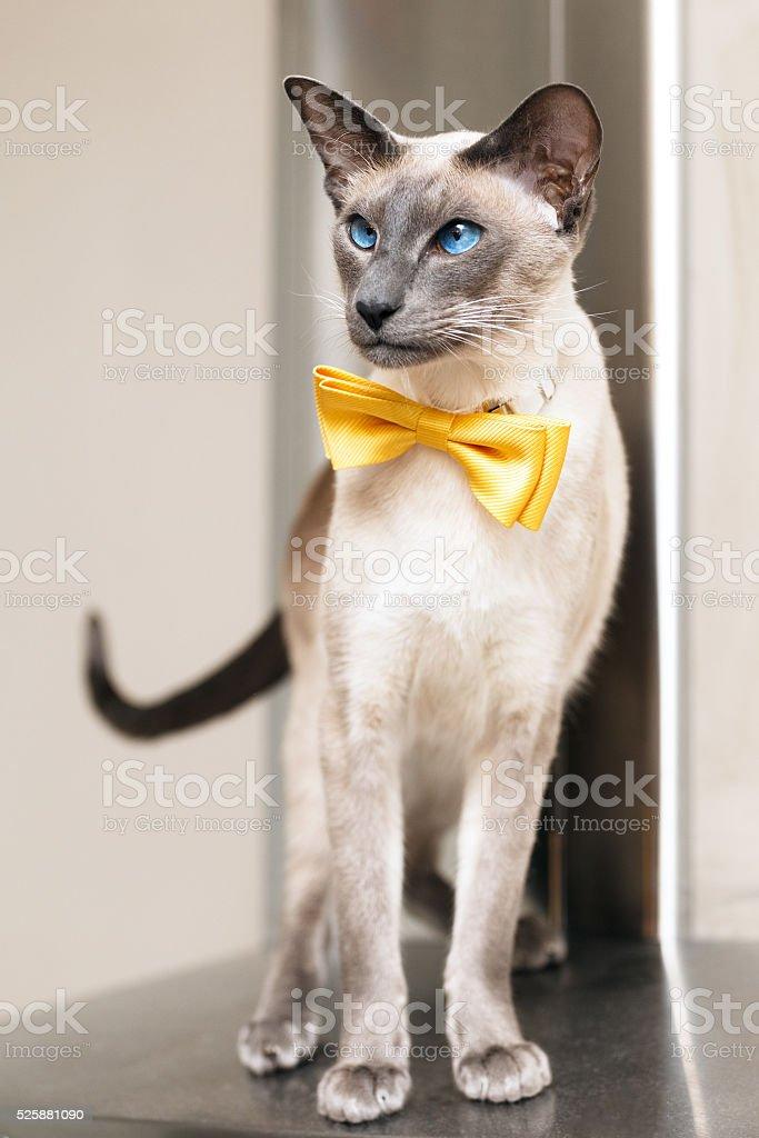 blue eyed siamese oriental cat wearing a yellow bowtie stock photo
