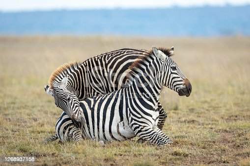 Adult zebra with unusual blue eyes sitting on the ground with another zebra trying to get her attention in Amboseli Kenya