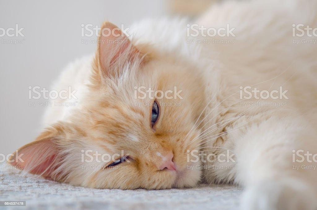 BLue Eyes Cat royalty-free stock photo