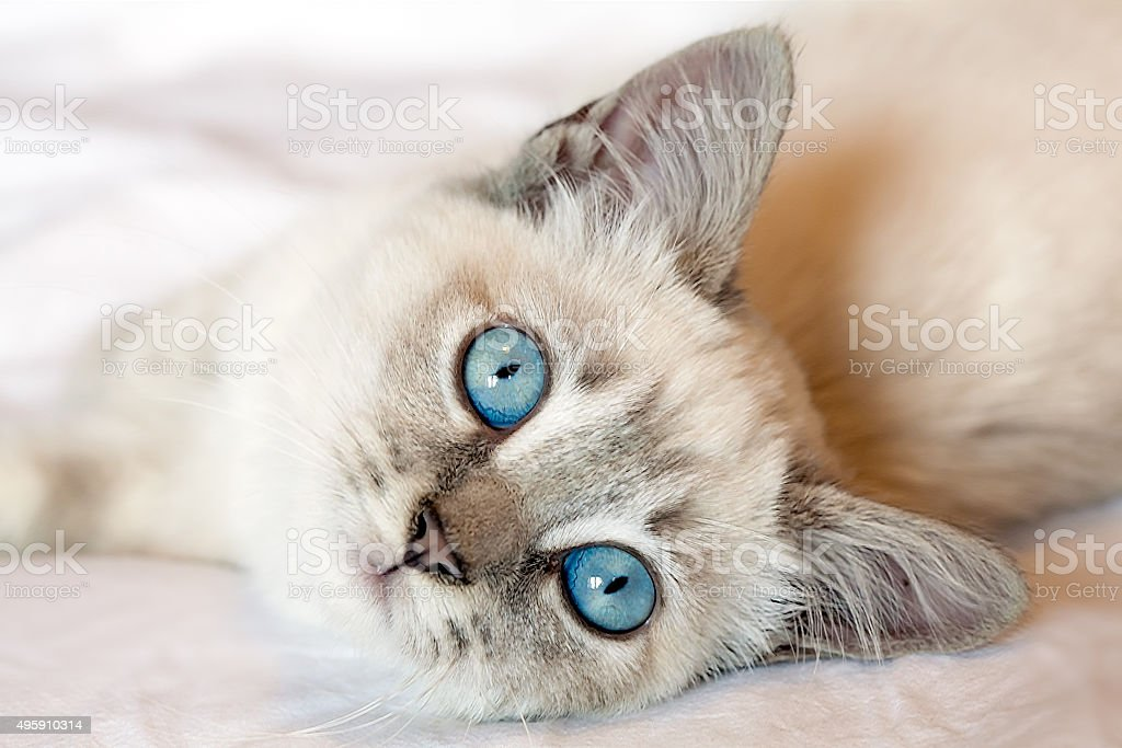 Very cute two months old kitten with blue eyes looking at the camera.