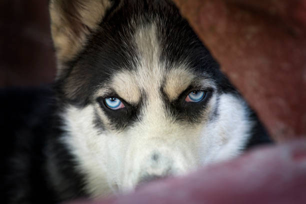 Blue eyes of Siberian Husky dog, wolf eyes looking angry or expectant out of the dark background. Mad and beautiful Siberian Husky dog Blue eyes of Siberian Husky dog, wolf eyes looking angry or expectant out of the dark background. Mad and beautiful Siberian Husky dog husky dog stock pictures, royalty-free photos & images