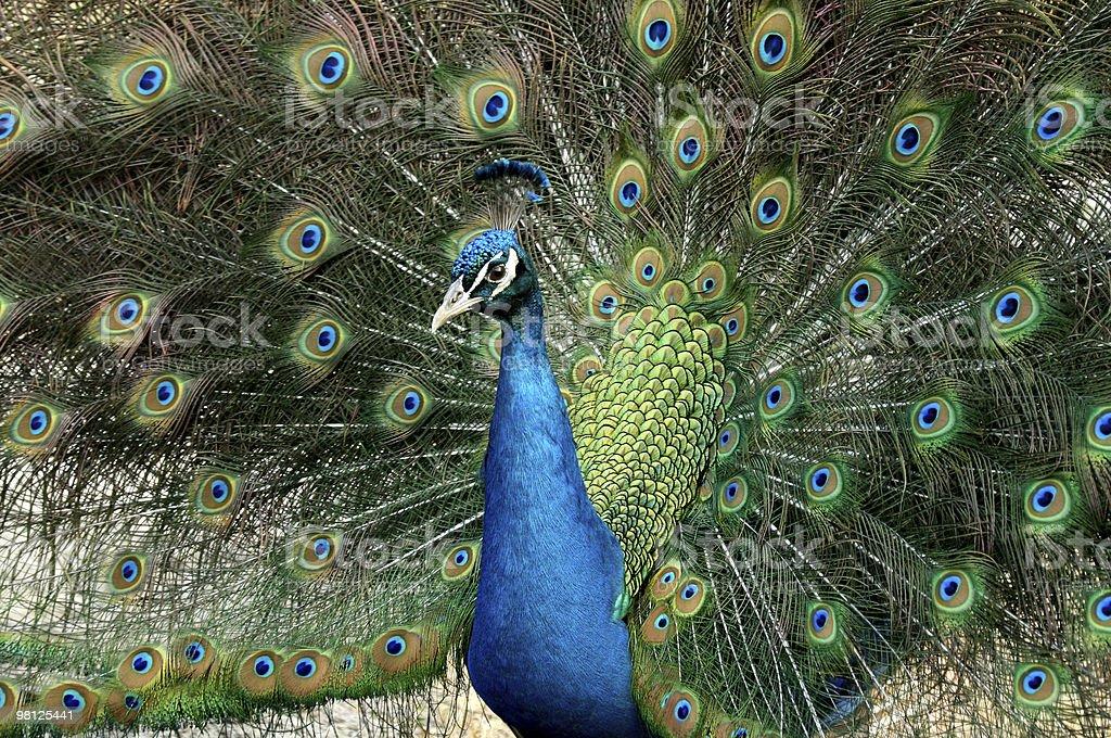 Blue occhi foto stock royalty-free