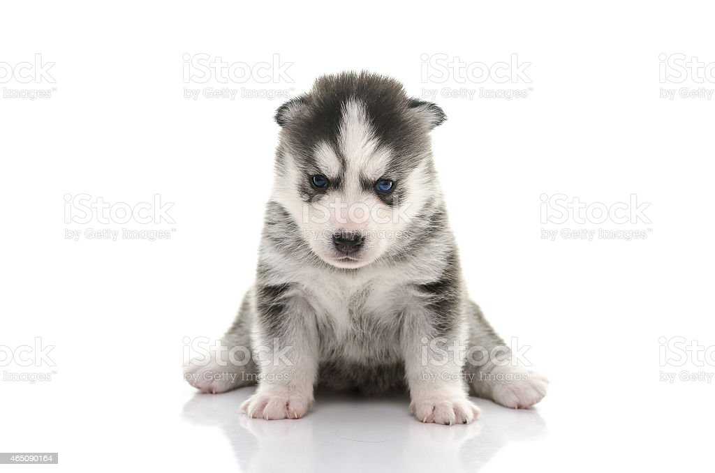 Blue Eyes Siberian Husky Puppy Stock Photo Download Image Now Istock