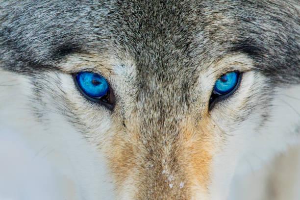 blaue augen wolf porträt - wolf stock-fotos und bilder
