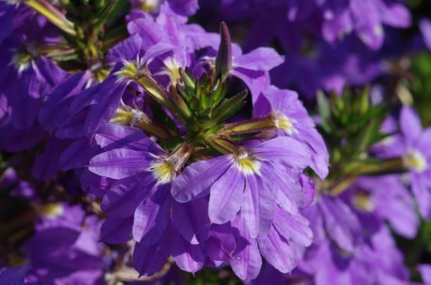 Blue fan flower stock photo