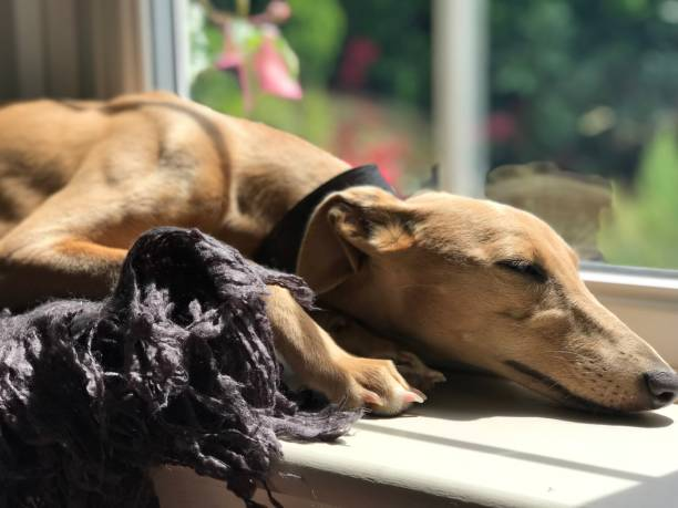 Blue Fawn Whippet sleeping in the sun Blue Fawn Whippet sleeping in the sun whippet stock pictures, royalty-free photos & images