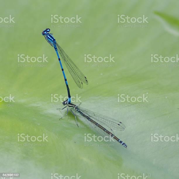 Blue featherleg (Platycnemis pennipes) on a small pond , close-upBlue featherleg (Platycnemis pennipes) on a small pond , close-up