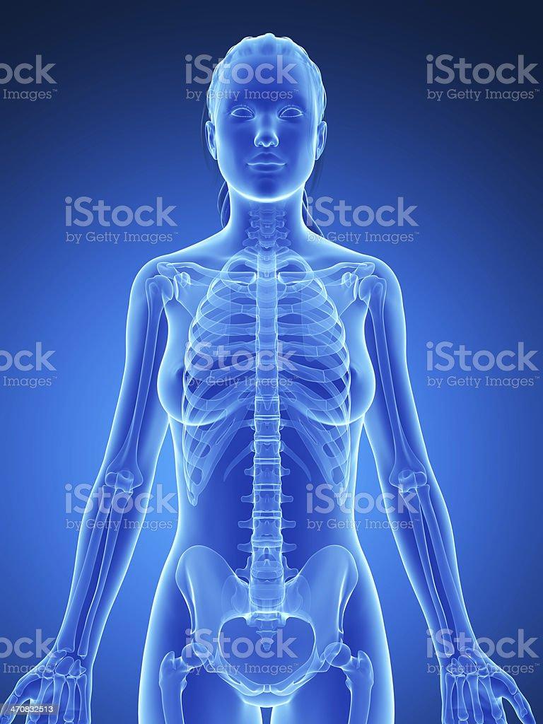 blue female skeleton - thorax stock photo