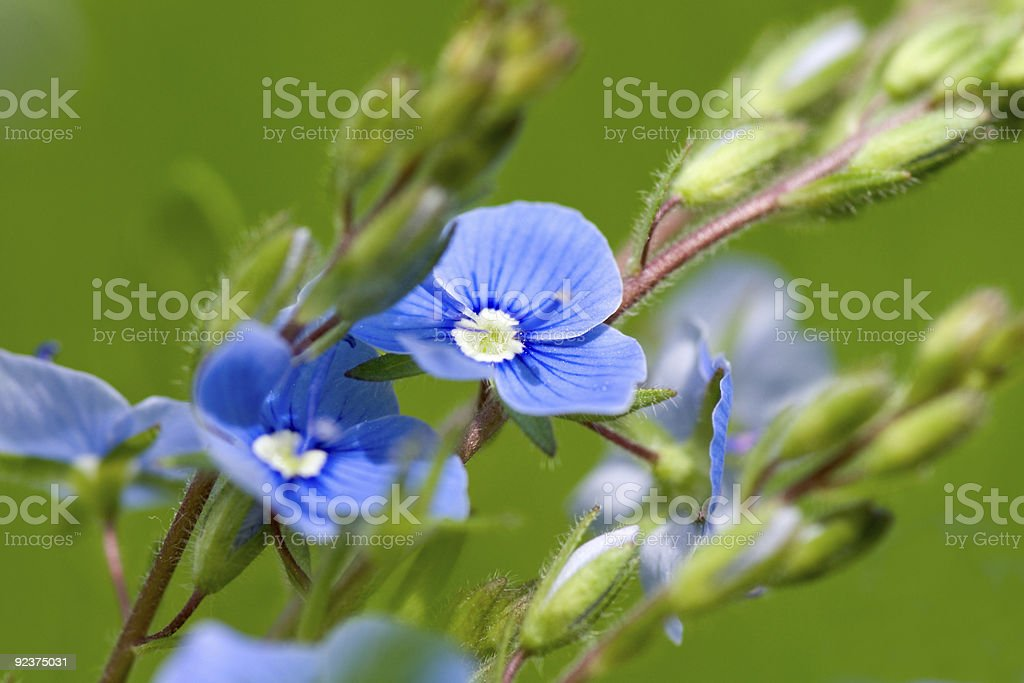 Blue field flower royalty-free stock photo