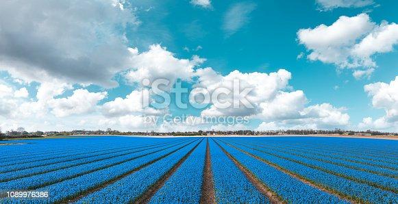 Blue flower field in the Netherlands.