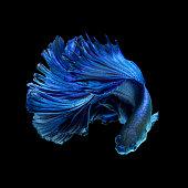 Blue fighting fish on black background