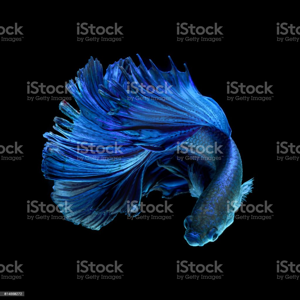 Blue fighting fish on black background stock photo