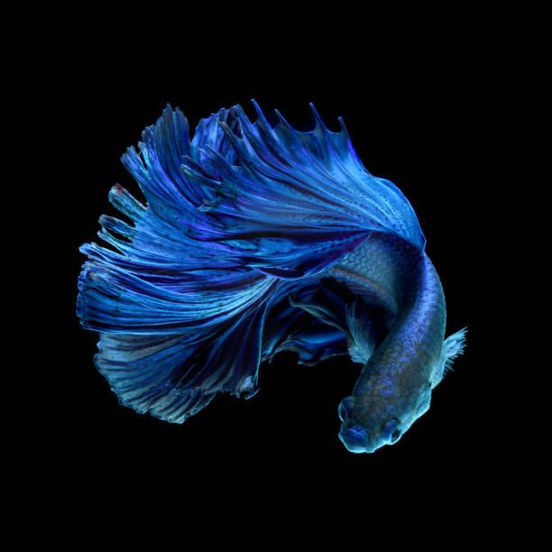 Blue fighting fish on black background stock photo