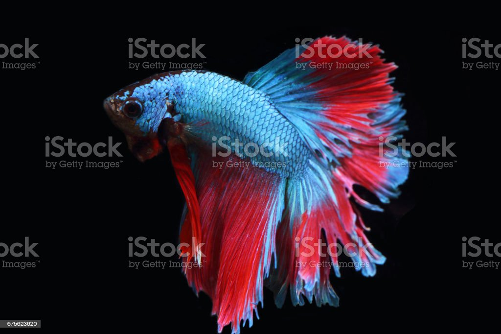 Blue fighting fish royalty-free stock photo
