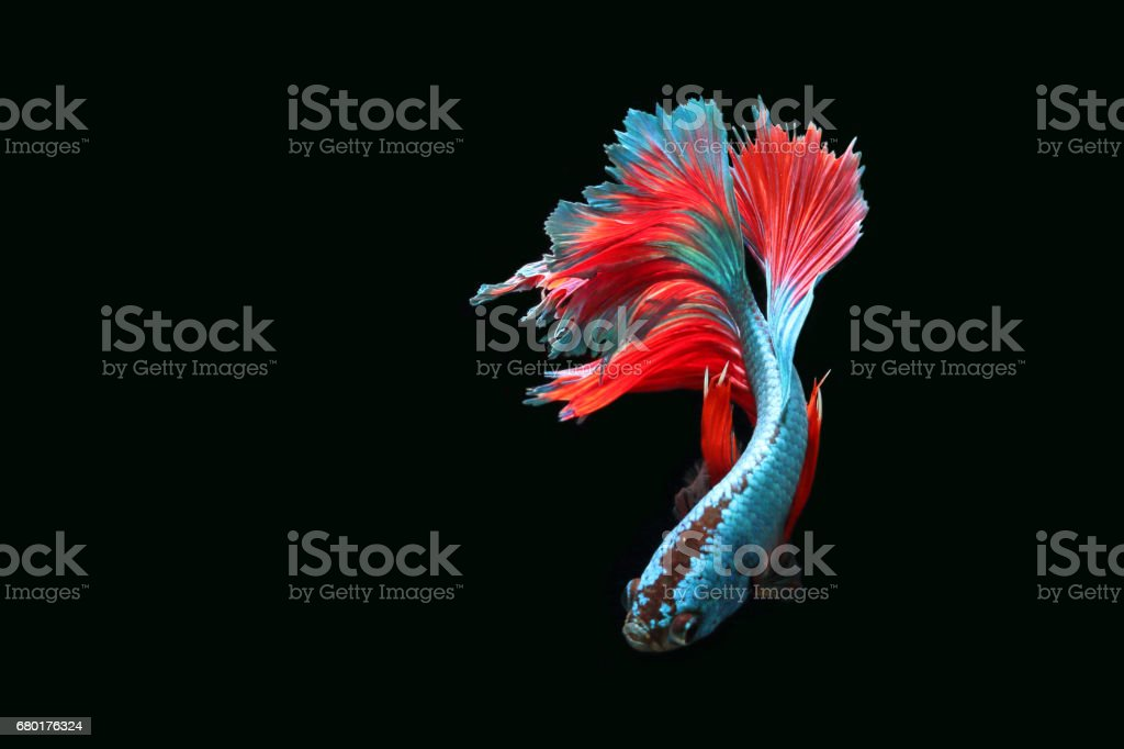 Blue fighting fish stock photo