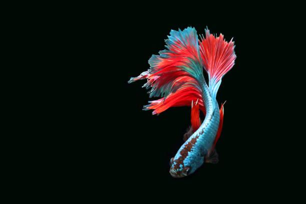 Blue fighting fish stock photo
