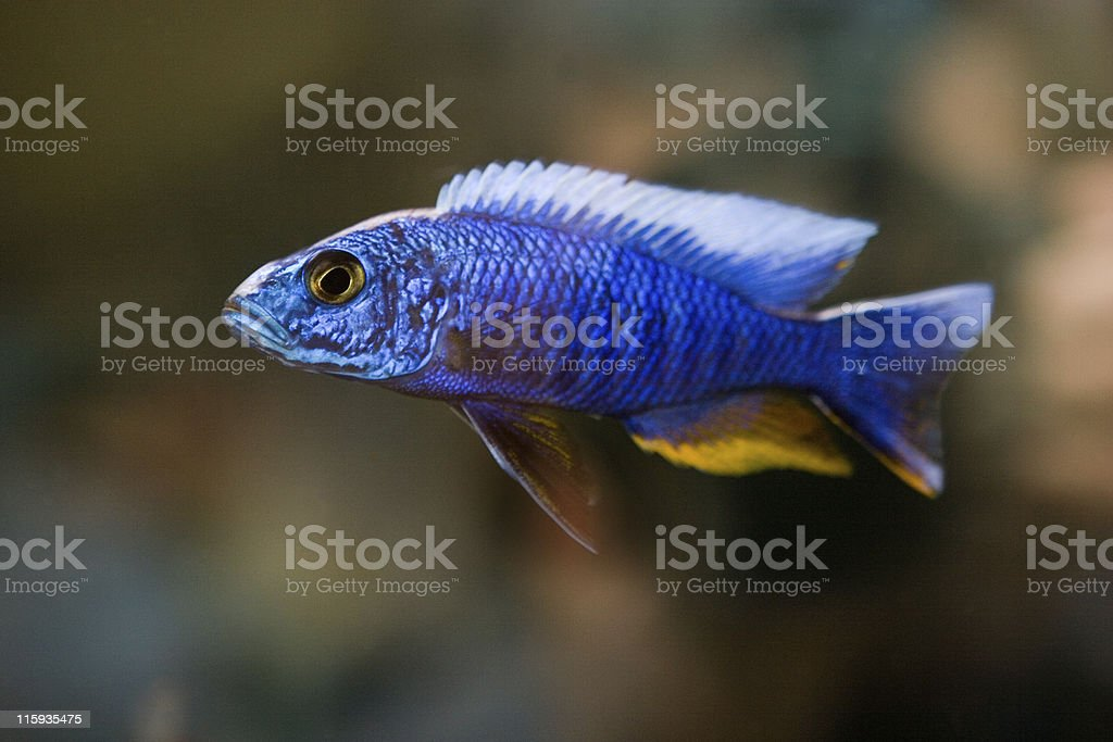 Blue Fish stock photo