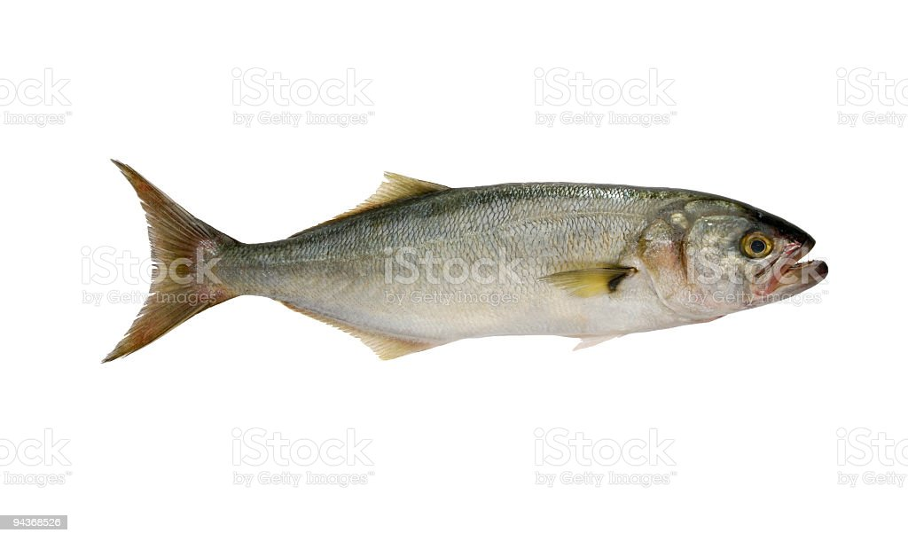 Blue Fish (Parca Saltatrix) stock photo