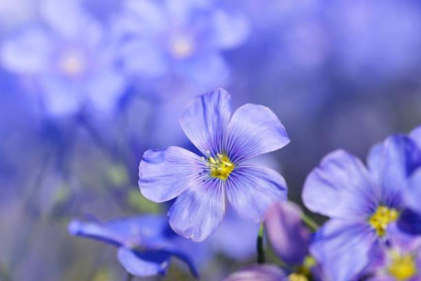 Blue Flax flower ( Linum austriacum ) stock photo
