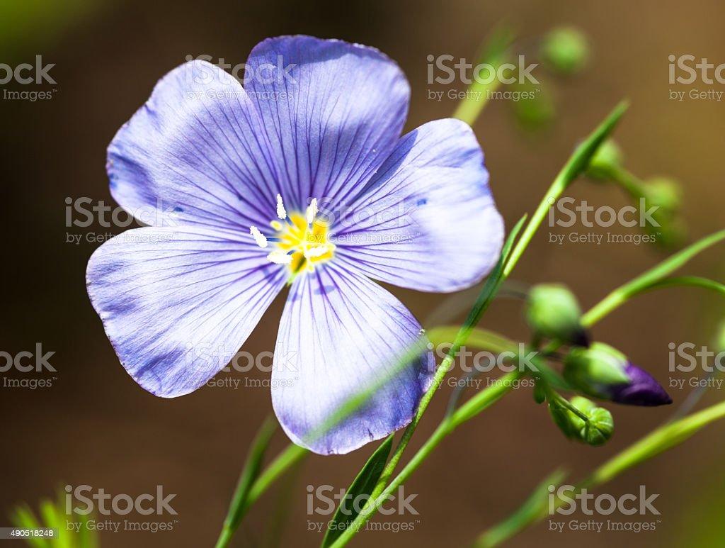 Blue flax flower stock photo