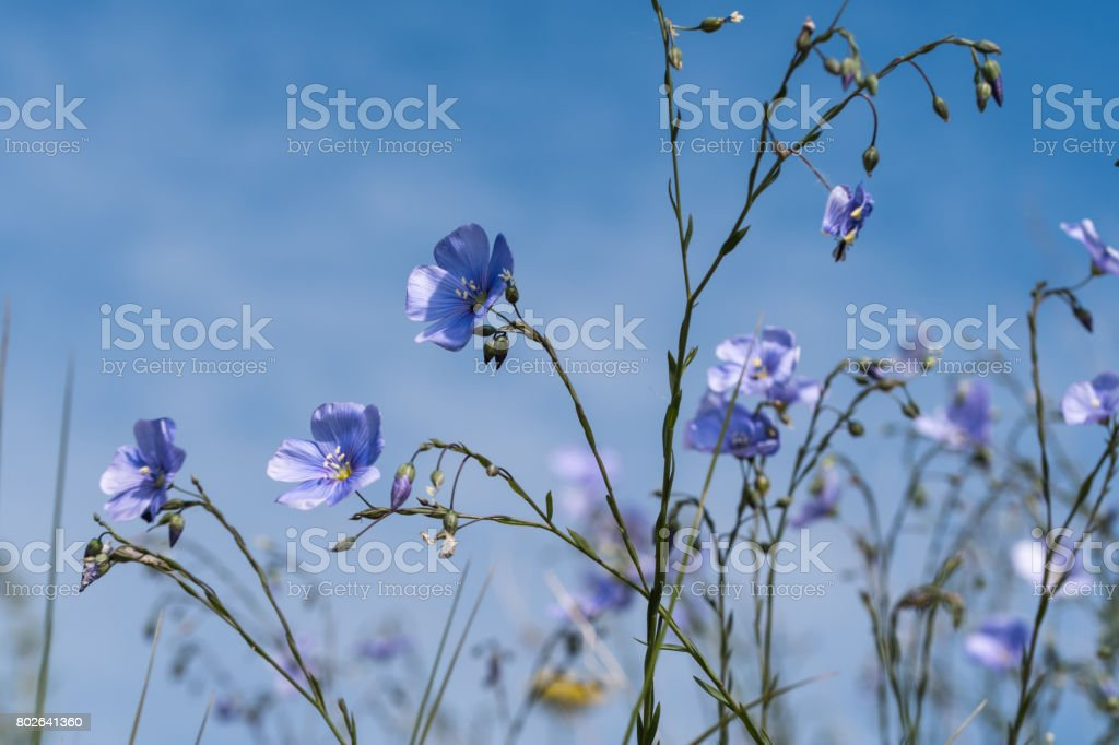 Blue flax flowers close up by blue sky stock photo