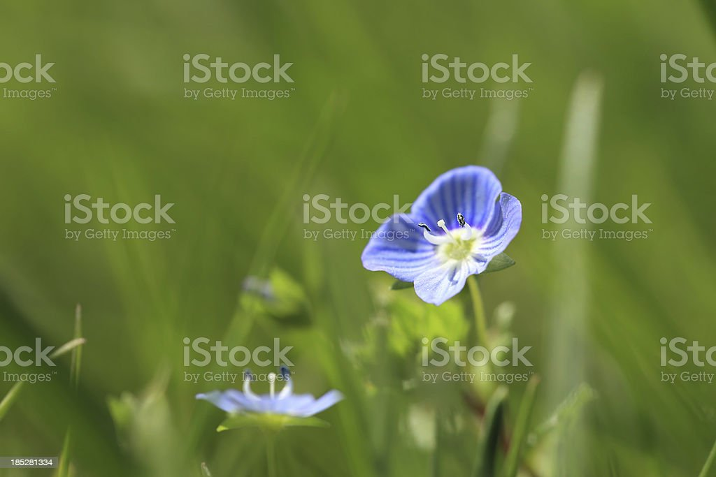 Blue Flax stock photo