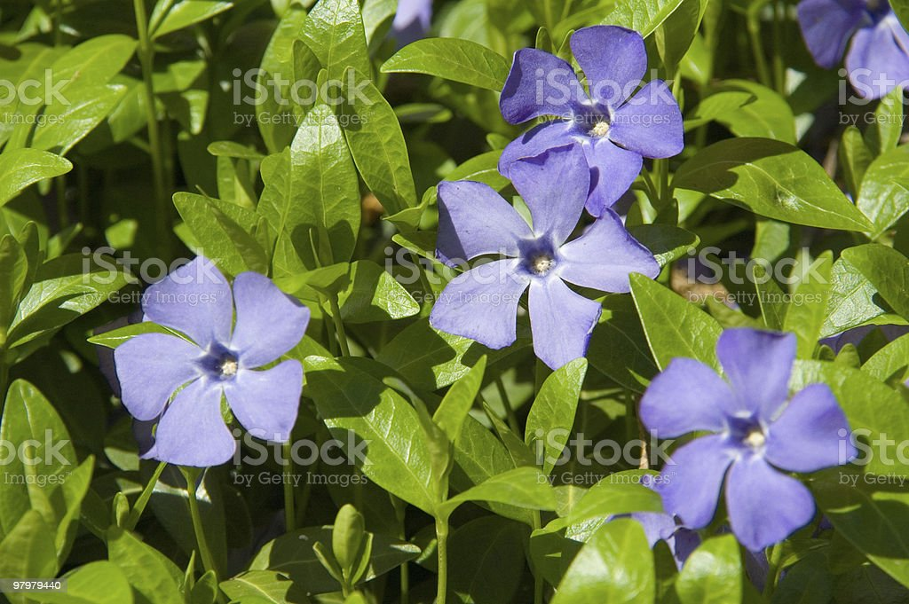 blue flax royalty-free stock photo
