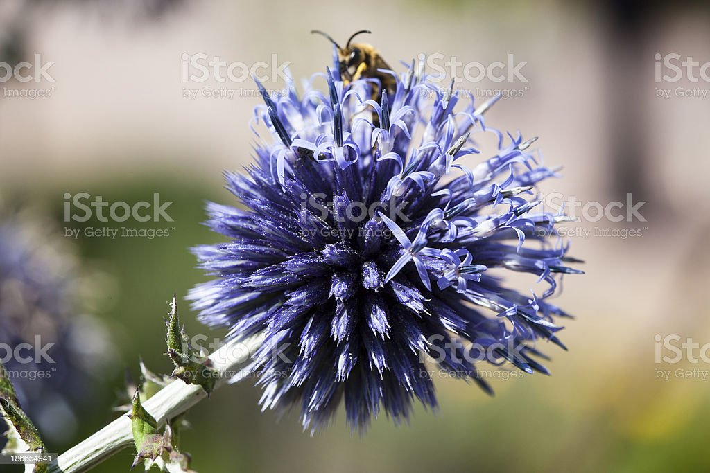 Blue flower and bee royalty-free stock photo