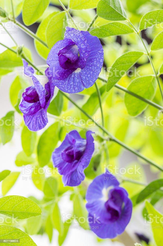 Blue flower, Butterfly pea. stock photo