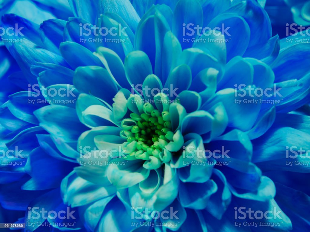 Blue flower chrysanthemum, macro blossom royalty-free stock photo