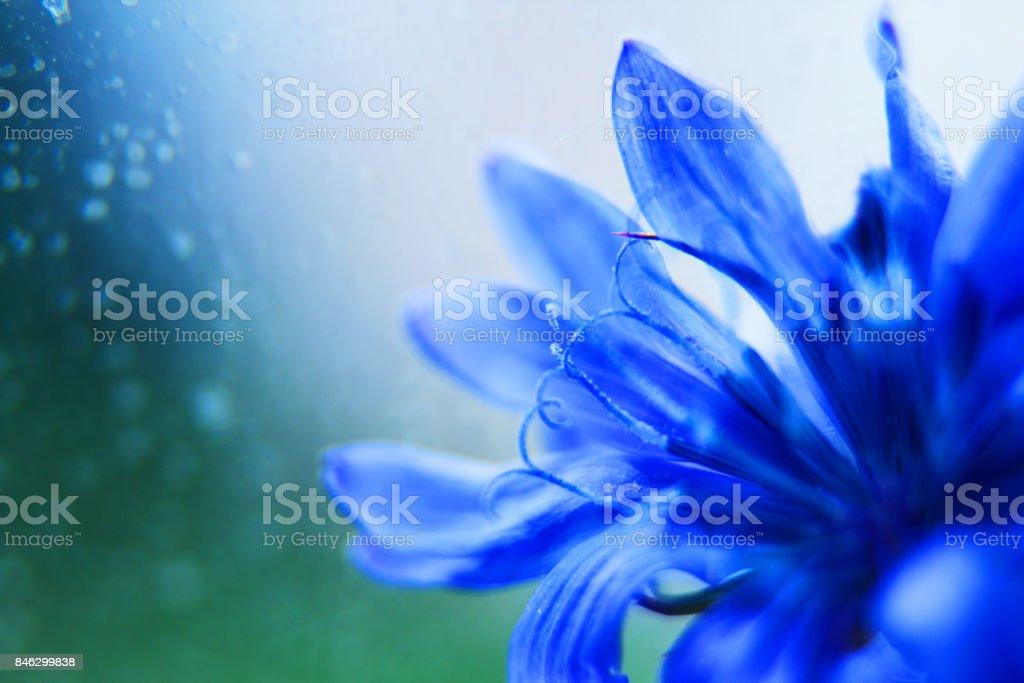 gros plan de fleur bleue. bleuet des champs. espace vide pour un texte - Photo