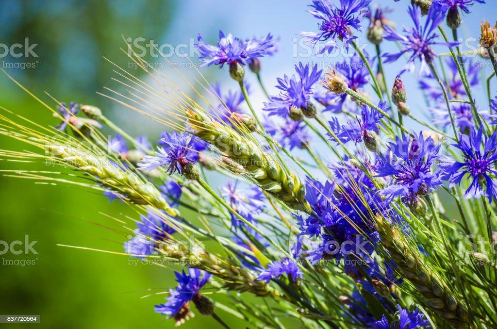 Bleuet fleur bleue - Photo
