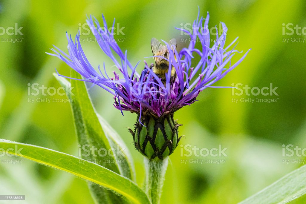 Blue flower gets a visit from a bee stock photo