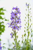 Blue flower is the delphinium on white background