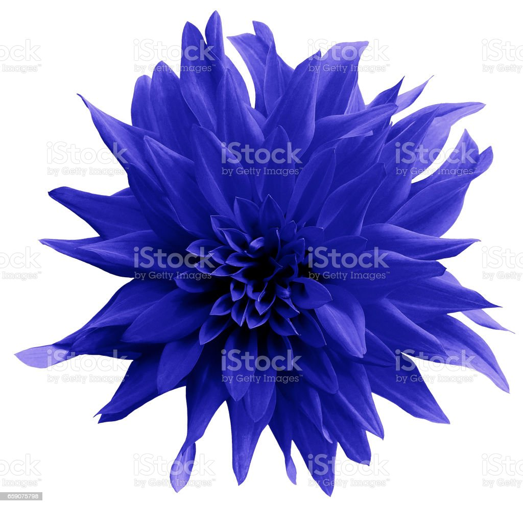 Blue flower. isolated on the white background with clipping path.  Close-up.  Shaggy yellow flower dahlia. Nature. stock photo