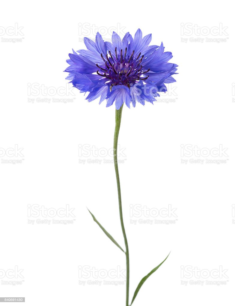 Blue flower (Cornflower) isolated on white background. stock photo
