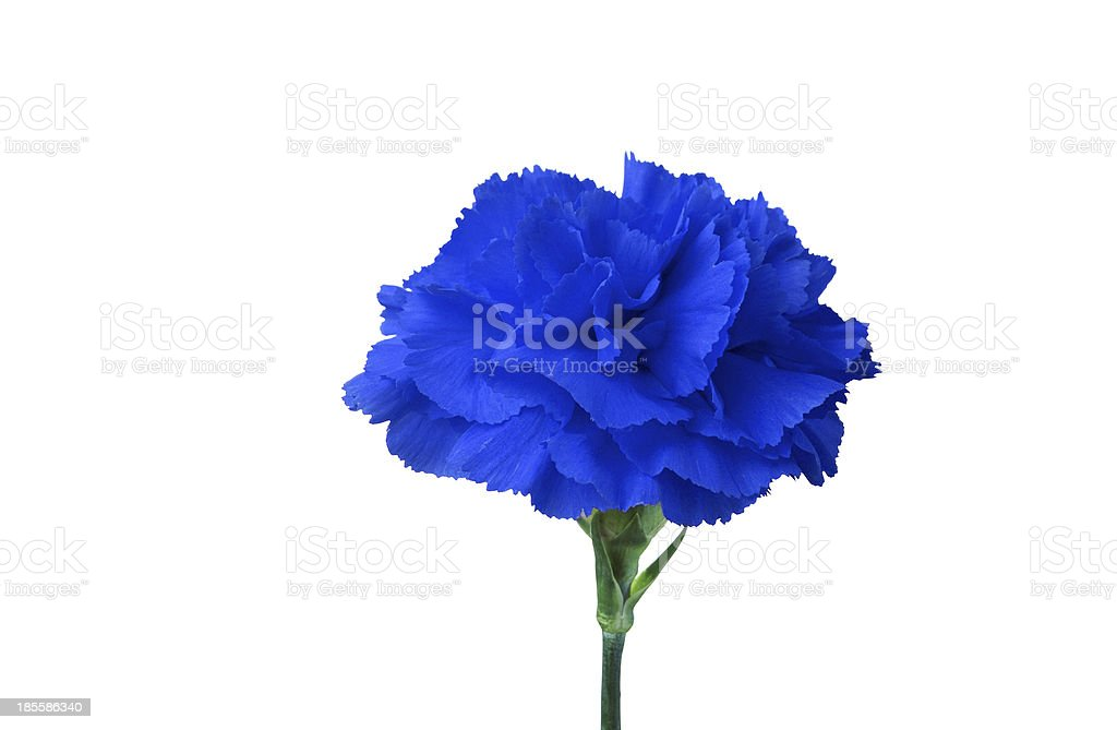 blue flower isolated on white royalty-free stock photo