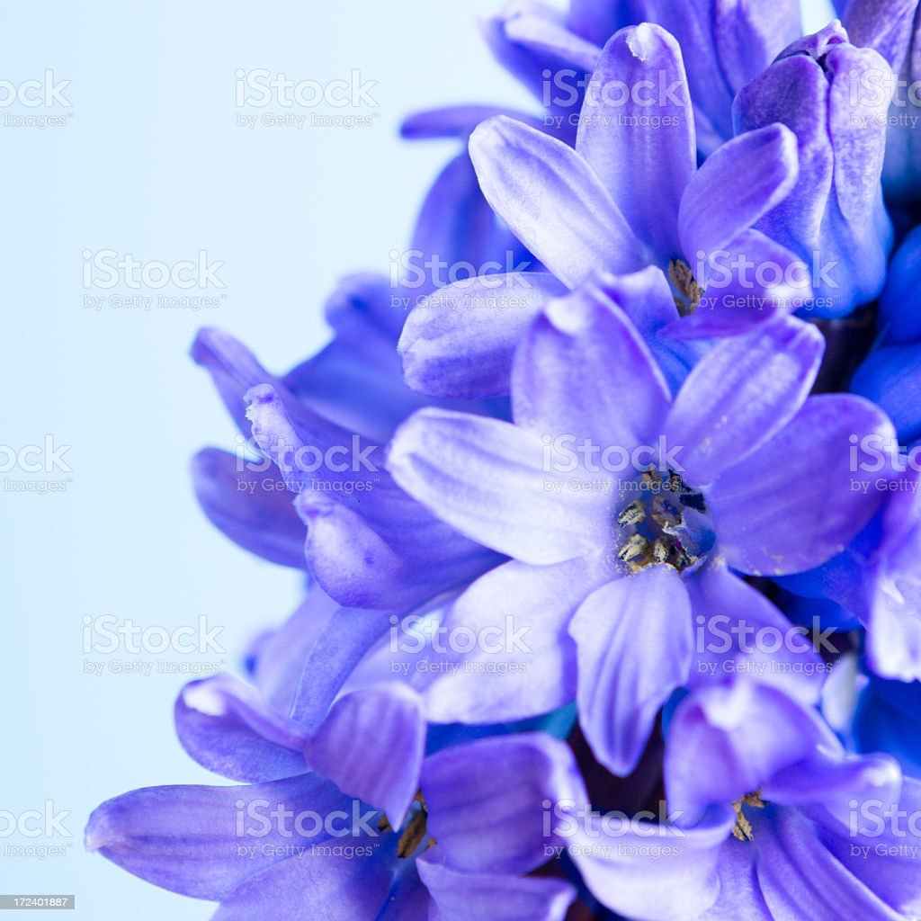 blue flower macro royalty-free stock photo