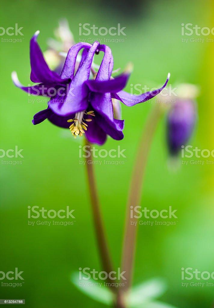 Blue flower of European columbine stock photo