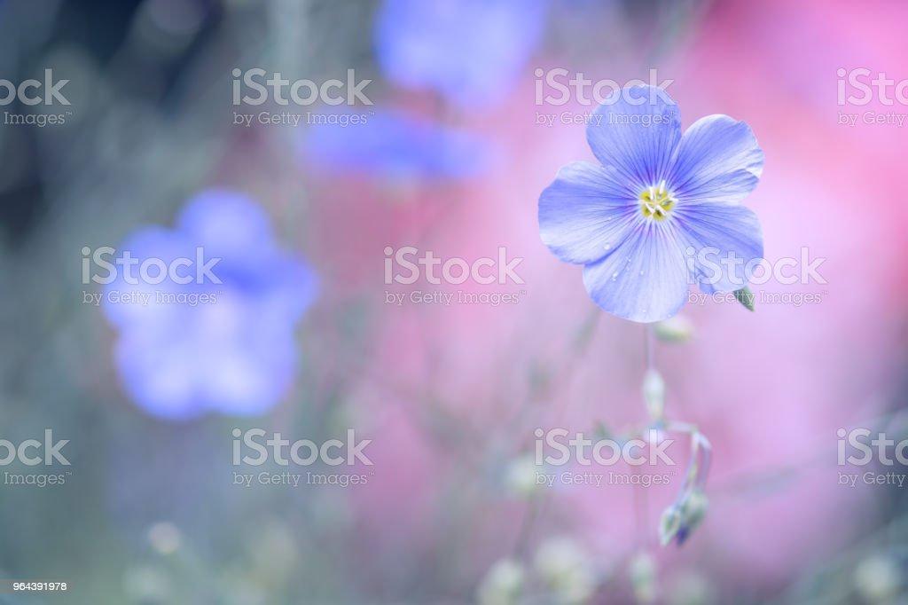 Flor azul de linho sobre um fundo rosa delicado. Cores pastel. Linho fundo ao ar livre com espaço para texto. - Foto de stock de Azul royalty-free
